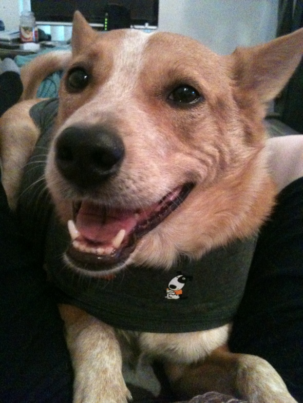 Smarty-pants cutie-pie Rex and his BFF, the Thundershirt. (Client-submitted photo.)