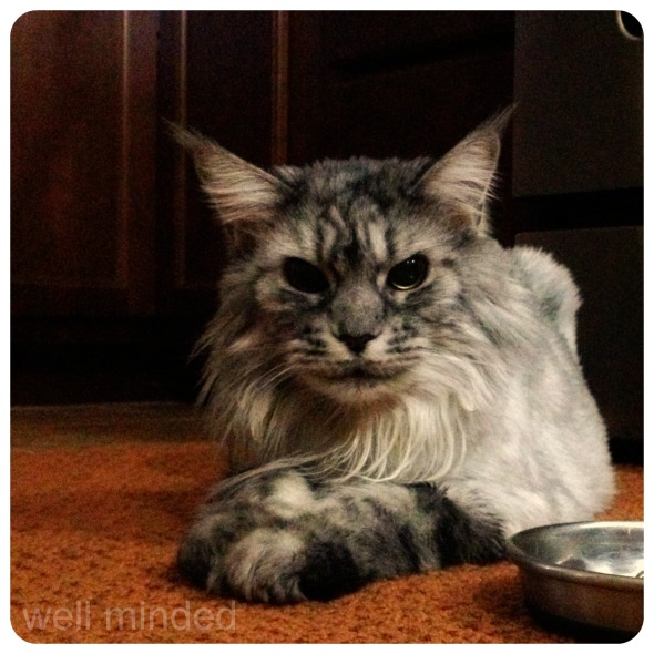 majestic Maine Coon